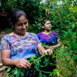 agricultura sostenible vivamos mejor guatemala