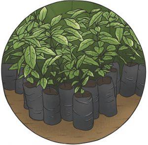 Nueva plantación